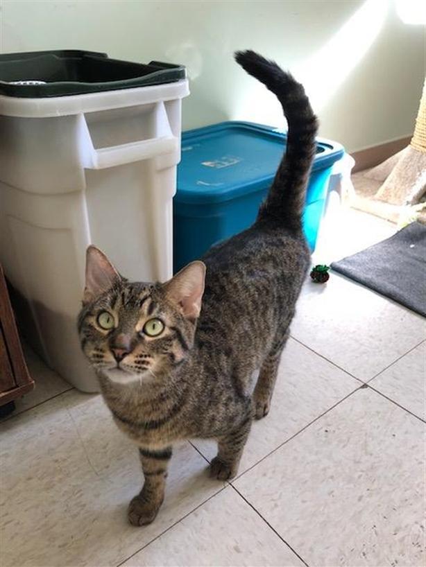 Cher - Domestic Short Hair Cat