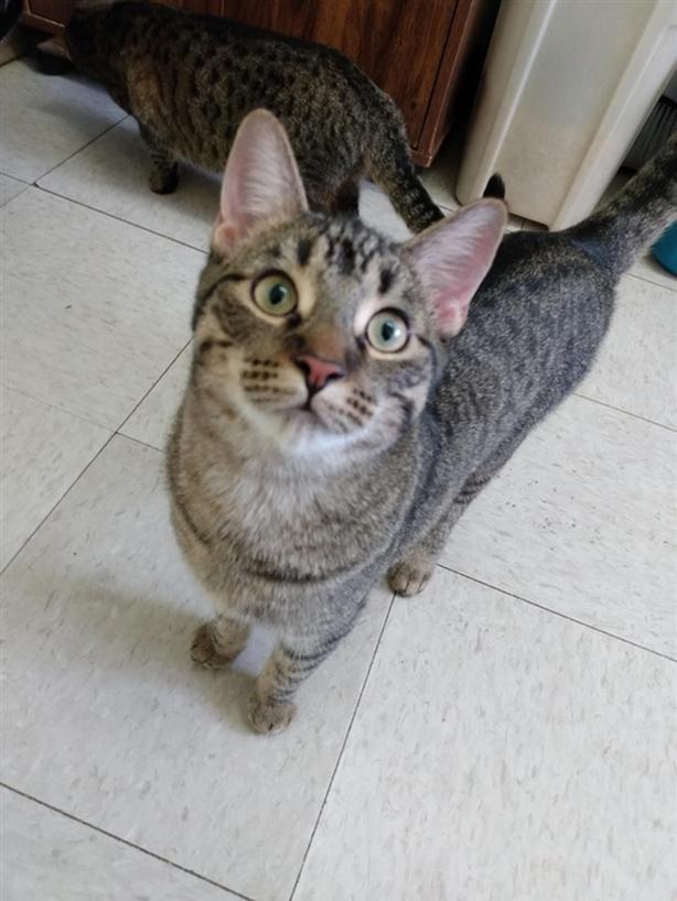 Chaz - Domestic Short Hair Cat