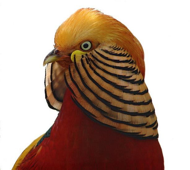 WANTED: MALE GOLDEN PHEASANT