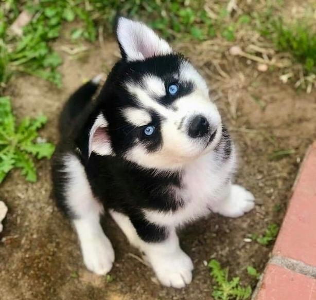WANTED: Siberianhsky puppy