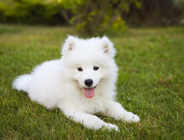 WANTED: Samoyed female puppy