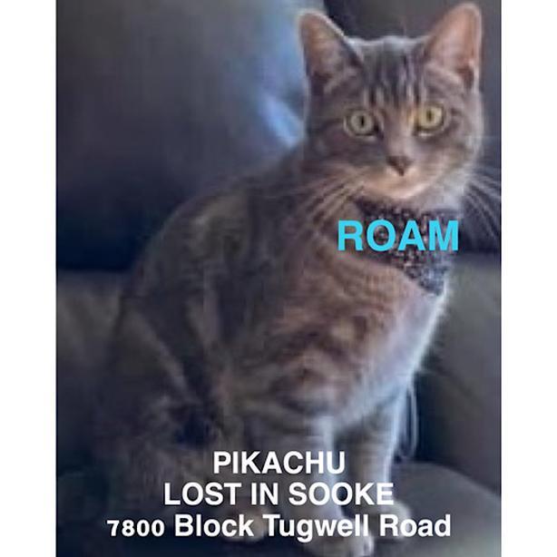"ROAM ALERT. Lost cat in Sooke ""Pikachu"""