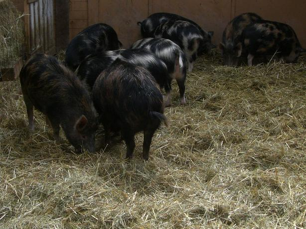 Ossabaw Gilts for sale