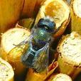 Phragmites natural reed grass tubes for Culturing Mason Bees