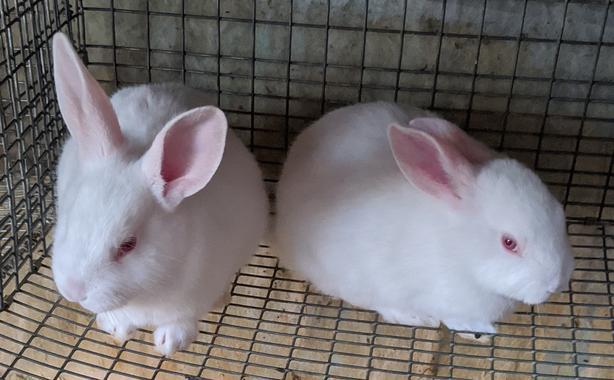 Purebred White New Zealand Rabbit