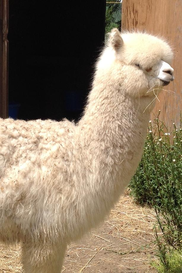 Alpaca yearling