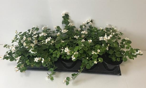 4in Annuals - Hilltop Gardens