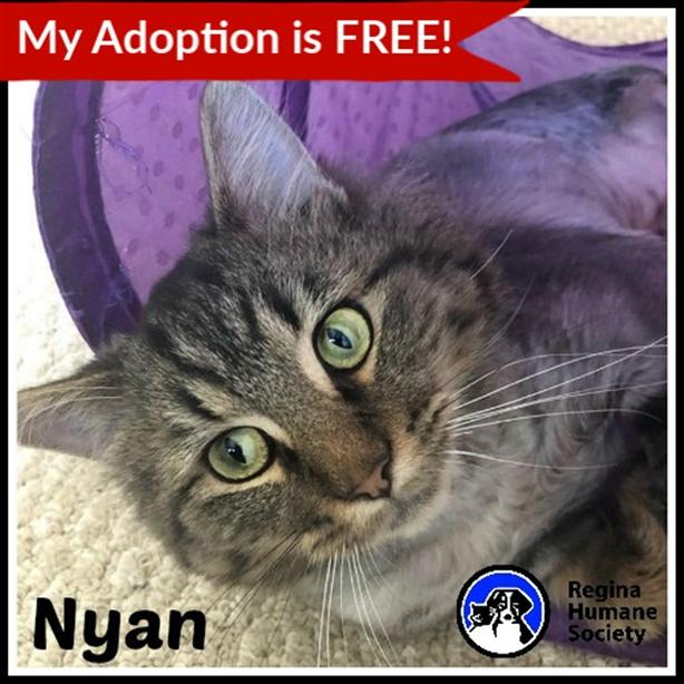 Nyan* - Domestic Medium Hair Cat