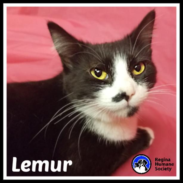 Lemur* - Domestic Short Hair Cat
