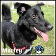 Marley - Border Collie Dog