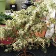 Variegated Cedar Tree