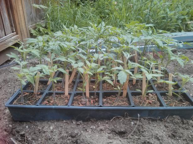 Tomato Plants 50 Cents ea