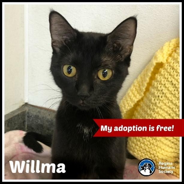 Wilma* - Domestic Short Hair Cat