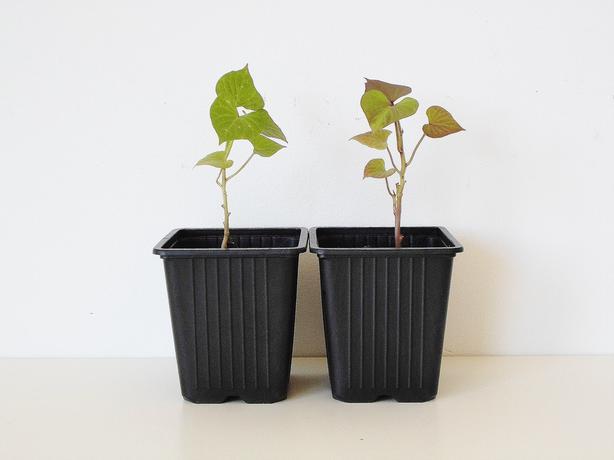 White Sweet Potato Seedling Slip (Set of 2)