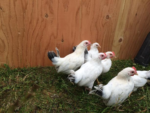Young Heritage Roosters