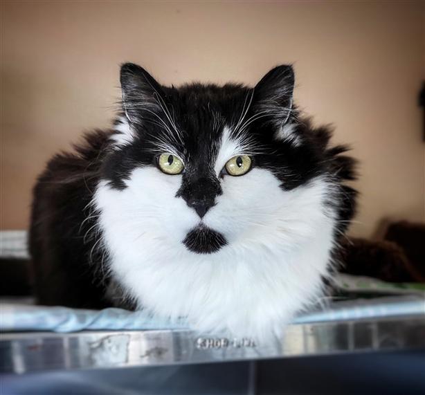 Oreo - Domestic Medium Hair Cat