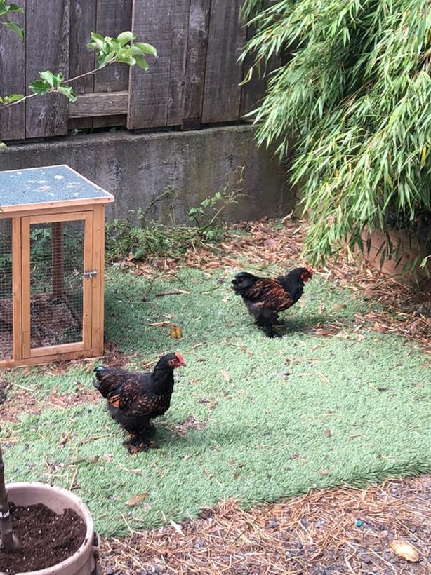 FREE: two bantam roosters