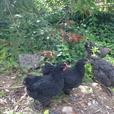 Sassoo X Black Australorp Roosters