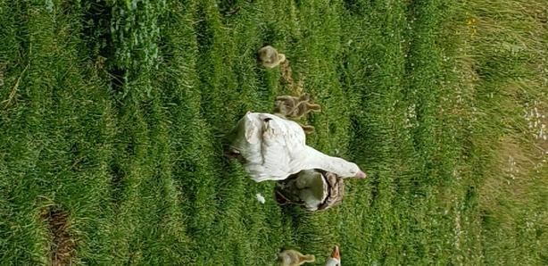 week old goslings