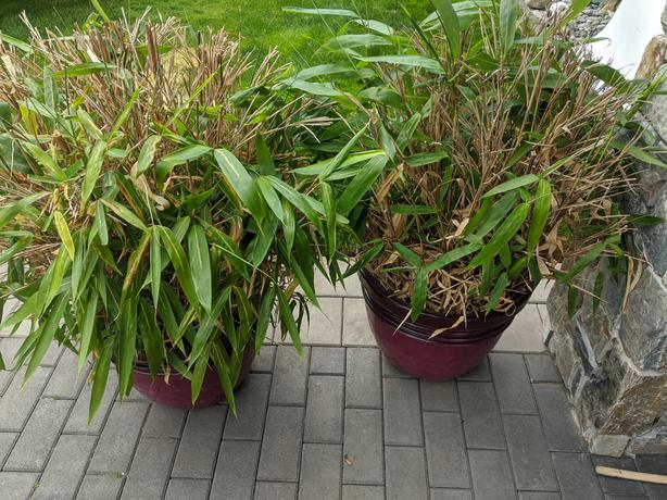 2 Bamboo plants and pots