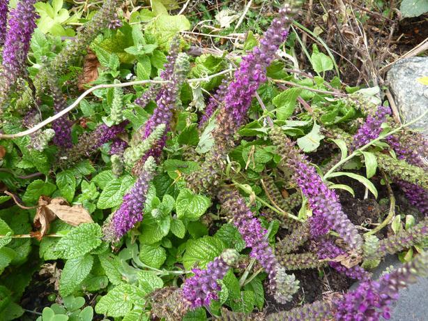 Purple Tails (Germander or Teucrium hircanicum)