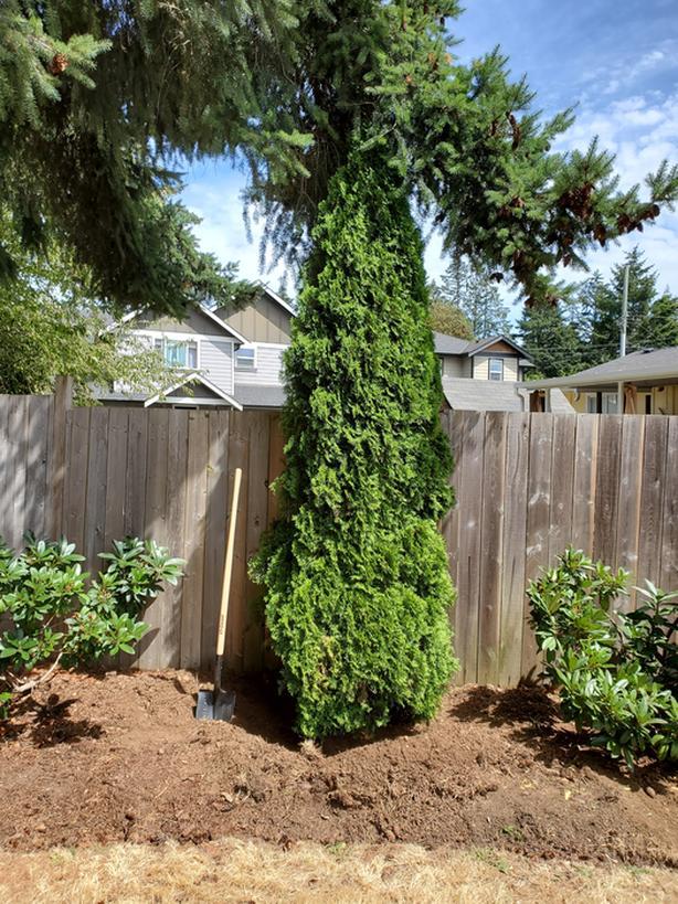 Mature cedar shrub