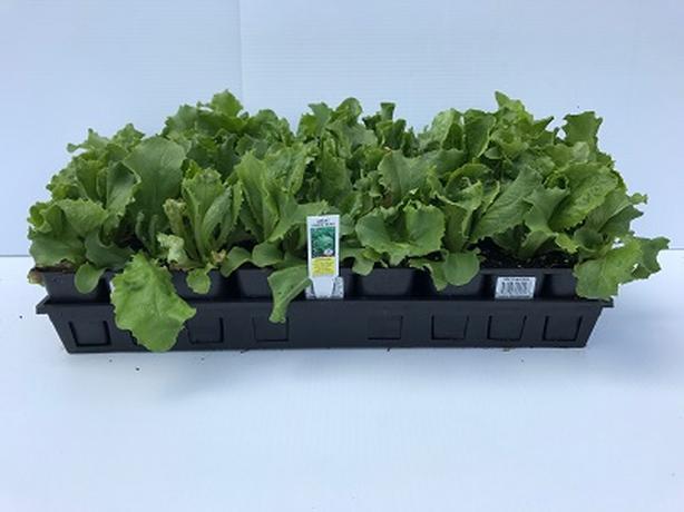 6 Pack Vegetable Starters - Hilltop Gardens