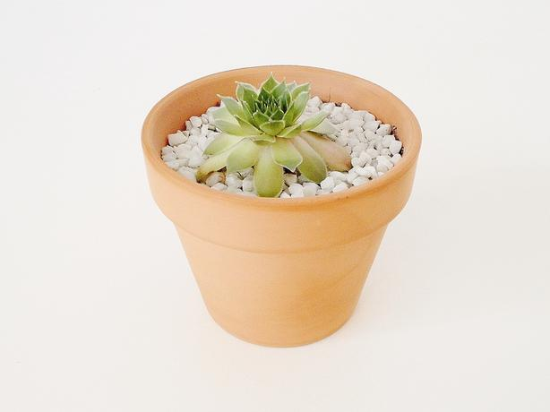 Succulent Potted Plant with Terra Cotta Terracotta Clay Pot Hens and Chicks