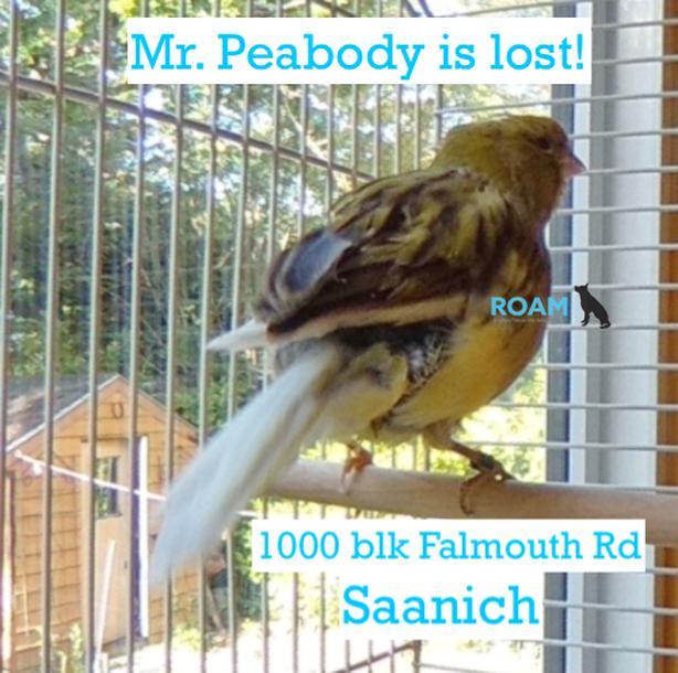 ROAM Alert: Lost Canary. Saanich (Quadra/Falmouth area)