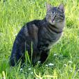 Missing Tabby cat Elska