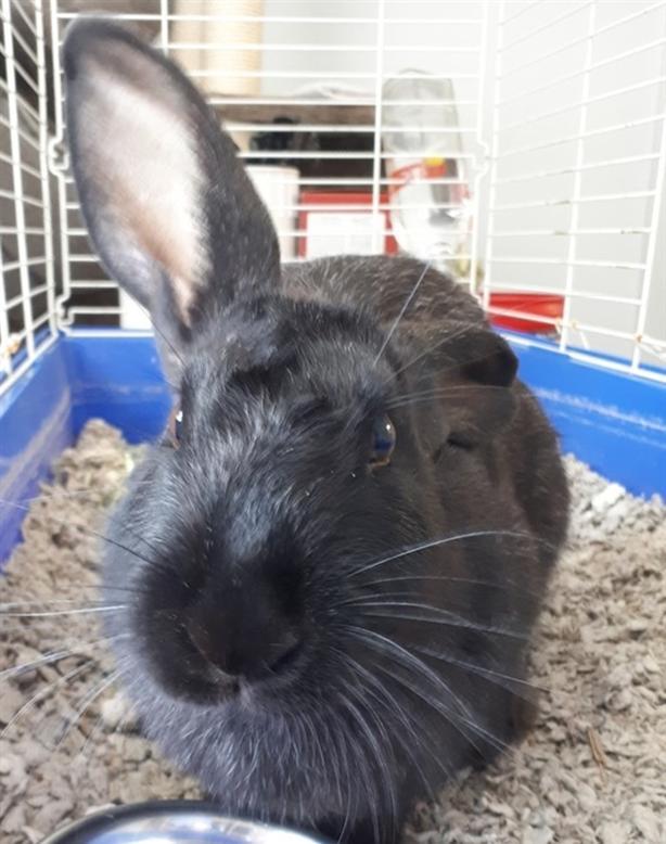 Hunny B - Rex Rabbit