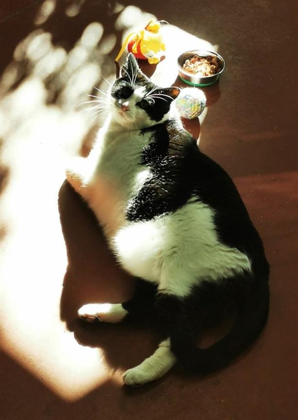 Willow - Domestic Short Hair Cat