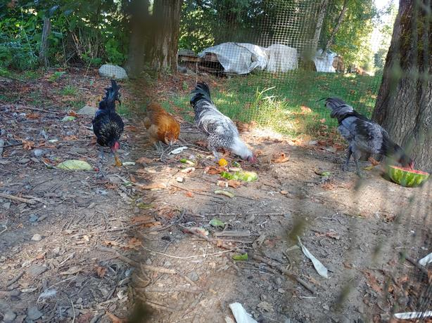 FREE: Roosters