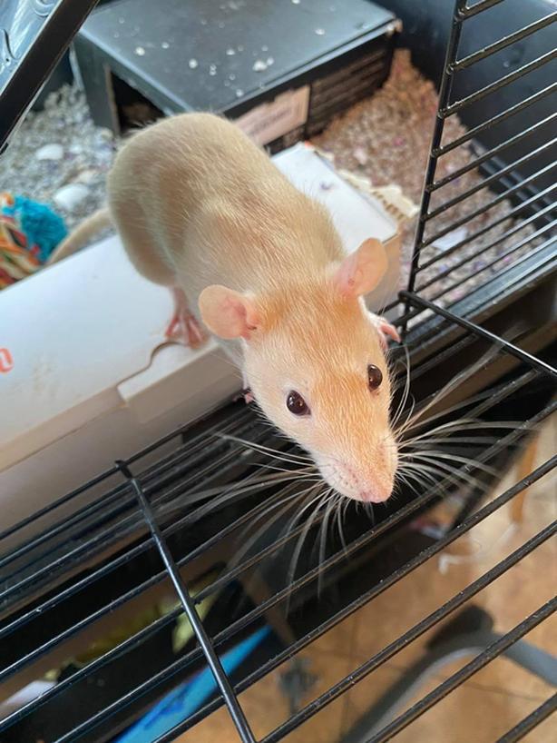 Female Rat Needs new home