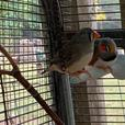 Breeding pair of Zebra Finch with cage