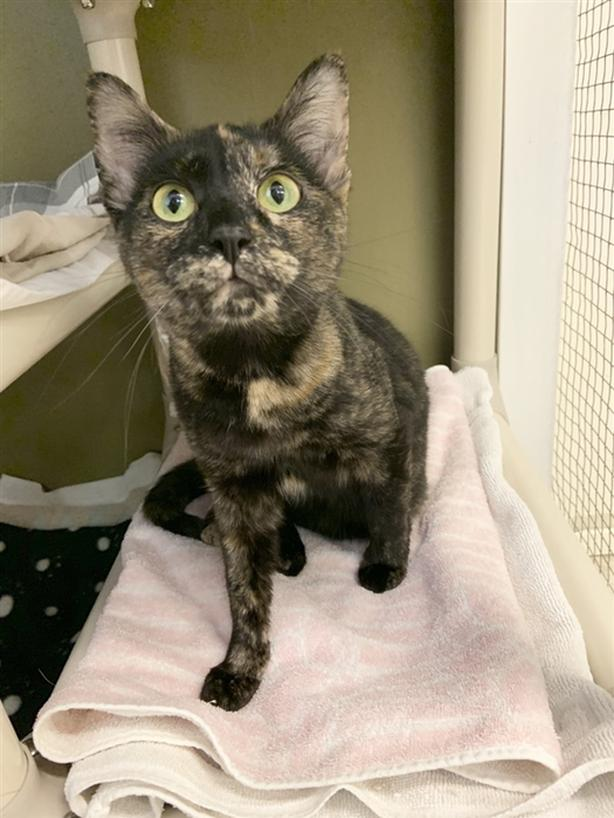 Saige - Domestic Short Hair Cat