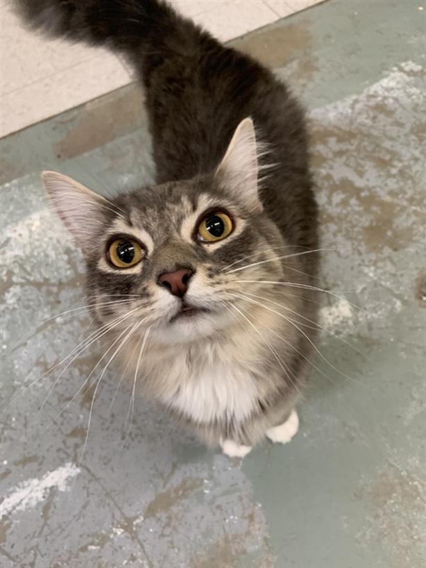 Batman - Domestic Medium Hair Cat