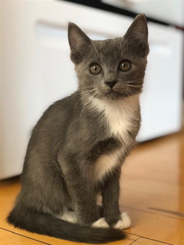 Merlin @ Angel's - Domestic Short Hair Kitten