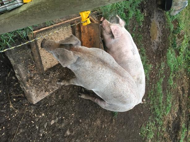 2 pigs, 200 lbs a piece