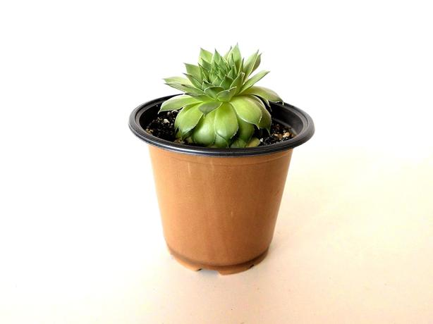 Succulent Plant - Hens and Chicks