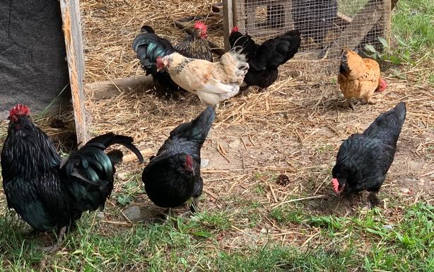 Flock of 7 miniature chickens