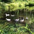 Muscovy female ducks