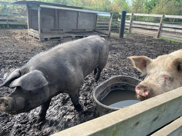 Breeding hogs