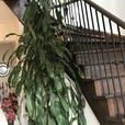 12 feet tall indoor plant moving sale
