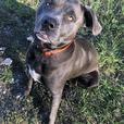 Stella - Pit Bull Terrier Dog