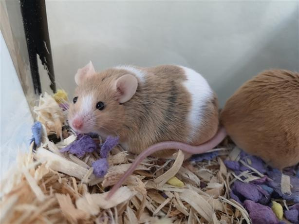 Peaches - Mouse Small Animal