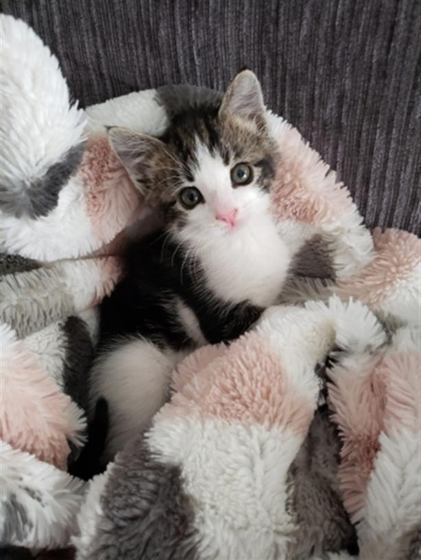 Tow-Mater - Domestic Short Hair Kitten