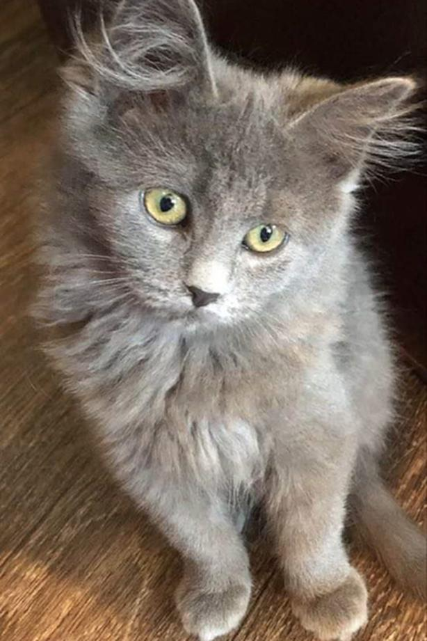 Angel (prospect F) - Domestic Medium Hair Kitten