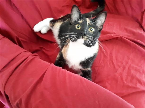 Felyx - Domestic Short Hair Cat