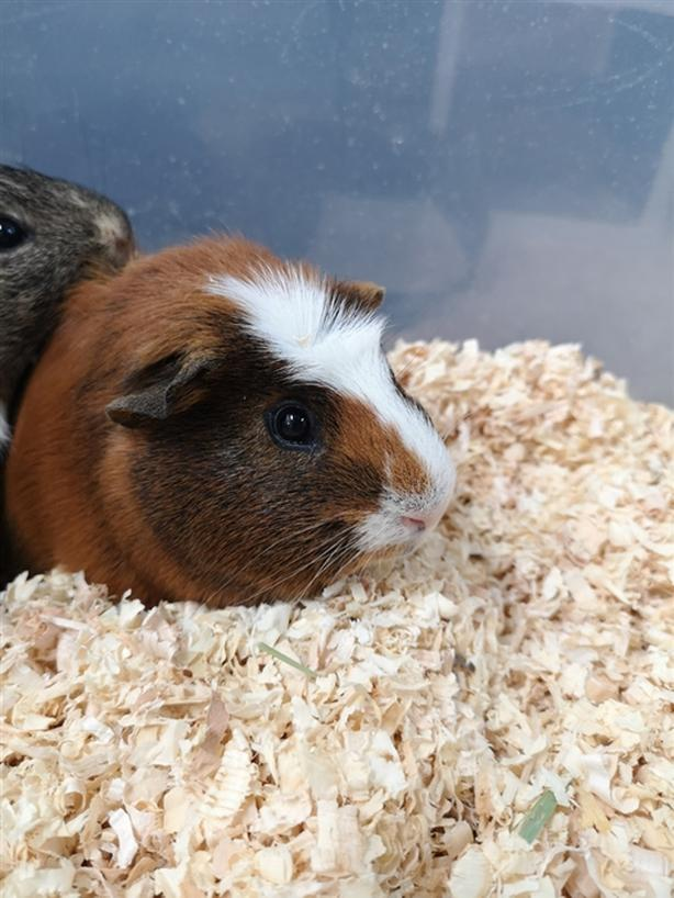 Wilmer - Guinea Pig Small Animal